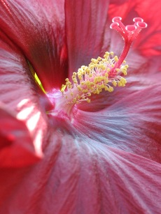 MaryWold-Red Hibiscus-Detail-R40